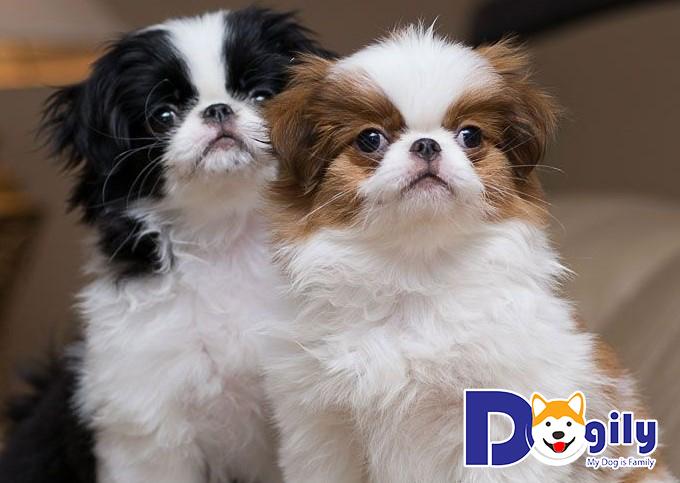 Giống chó Nhật thuần chủng tương đối hiếm tại Việt Nam