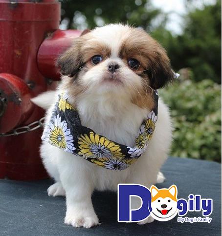 Bạn nên mua chó Nhật tại các địa chỉ uy tín