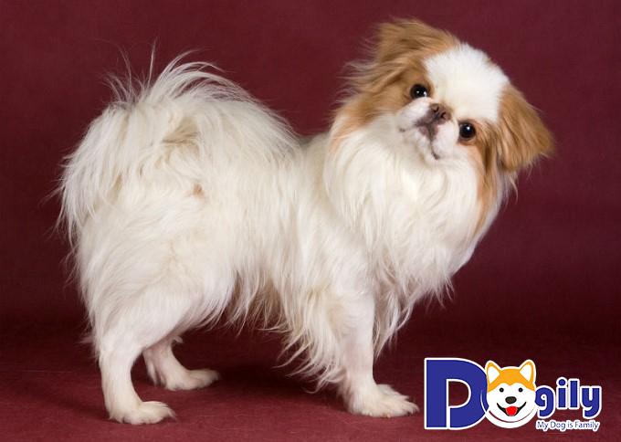 Chó Nhật dễ bị mắc các bệnh về đường hô hấp khi thời tiết thay đổi