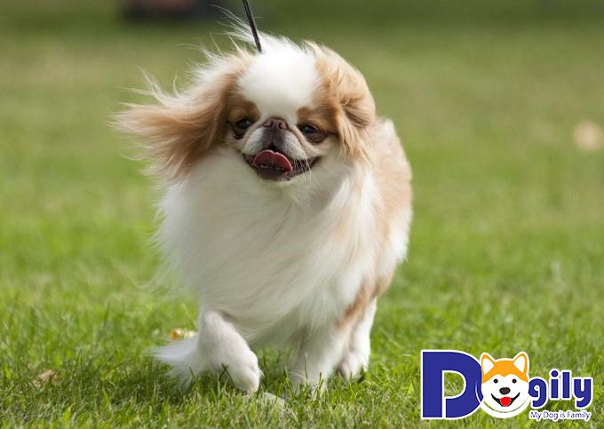 Giống chó Nhật khi còn nhỏ cần ăn các loại thức ăn dễ tiêu