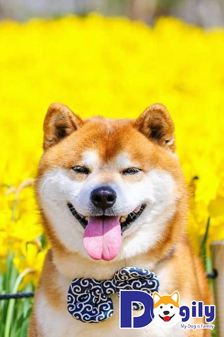 Chú chó Shiba Inu với nụ cười tỏa nắng