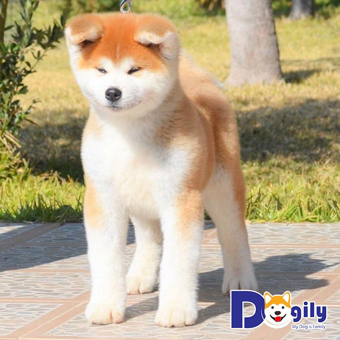 Chó Akita Inu nổi tiếng về sự trung thành