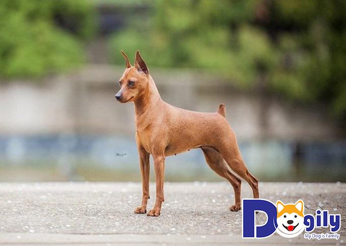 Kinh nghiệm mua chó Phốc Hươu thuần chủng
