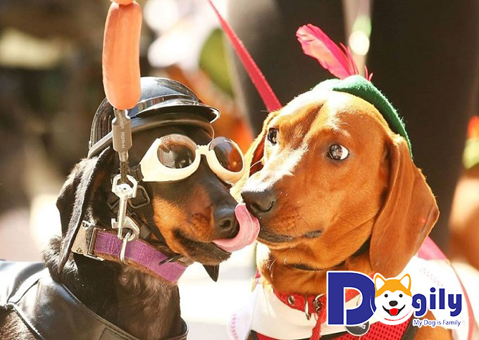 Cách huấn luyện chó lạp xưởng hiệu quả