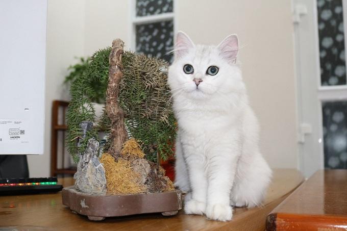 Một bé mèo cảnh giống Anh lông dài màu Silver nhập khẩu Nga tại Dogily Petshop Quận 1 (HCM).