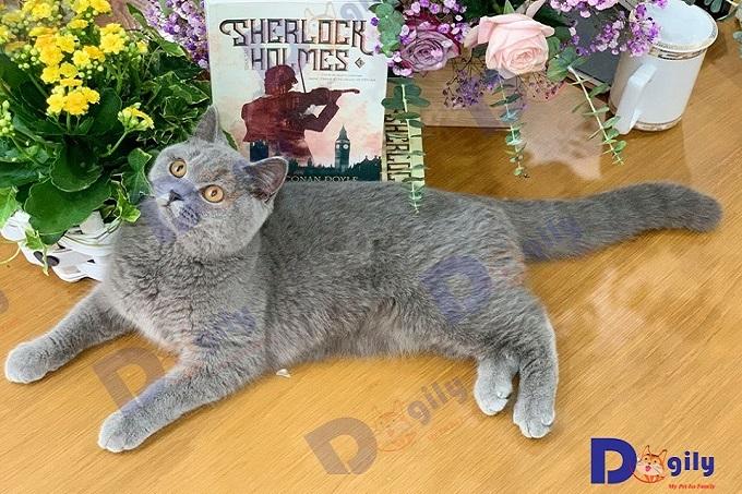 Bé mèo cảnh giống Anh lông ngắn Aln màu xám xanh đang bán tại Dogily Petshop Hà Nội.