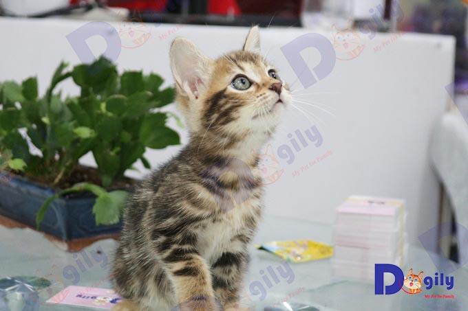 sức khỏe mèo bengal
