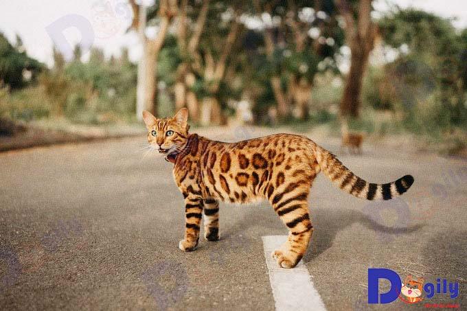 Tổ tiên của Bengal là giống mèo báo châu Á và mèo nhà