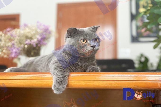 Chú mèo cảnh tên Ớt thuộc giống mèo Munchkin chân ngắn tại Dogily Petshop Quận Nhất, Sài Gòn.
