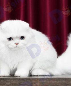 Mèo tai cụp Scottish Fold màu trắng