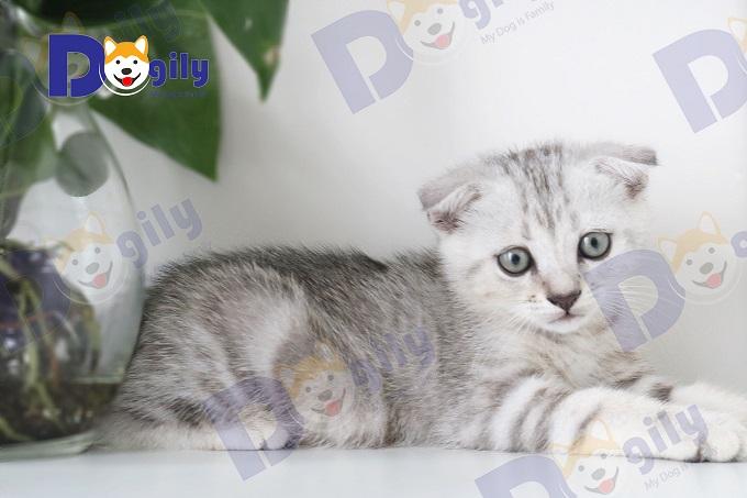 Bé mèo cảnh giống Scottish tai cụp màu tabby của Dogily Cattery.