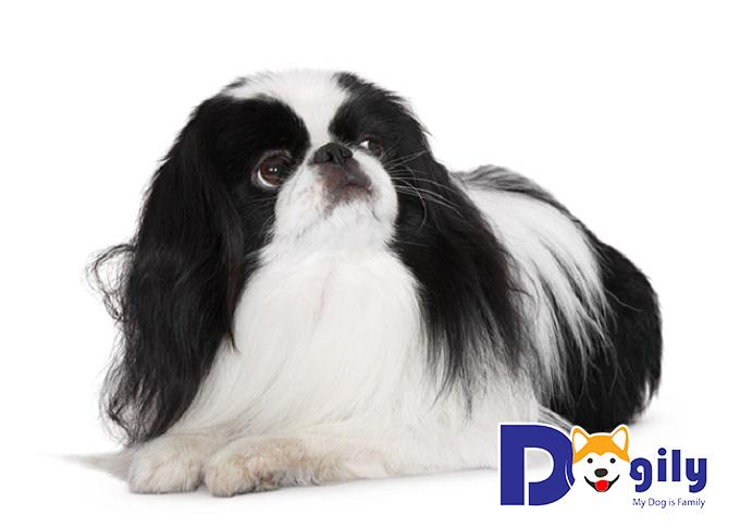Những điều cần lưu ý khi nuôi chó Nhật