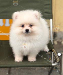 Chó Phốc sóc Pom kem trắng 2 tháng tuổi