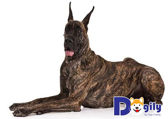 Thức ăn nào là phù hợp với chó Great Dane
