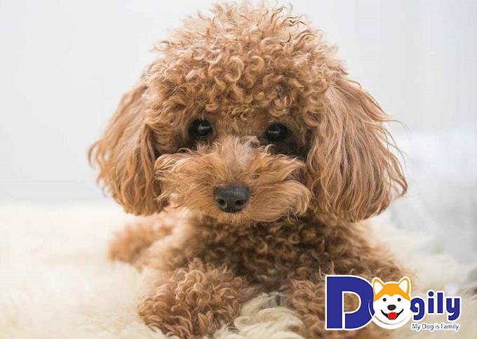 Đặc điểm phần đầu của chó Poodle