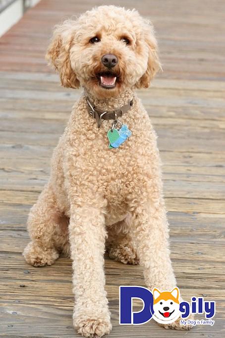Thân hình của Poodle nhìn rất cân đối