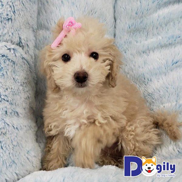 Giống chó Poodle sở hữu bộ lông xù rất đặc trưng