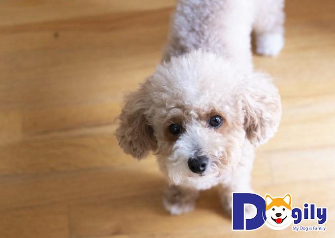 Chó Poodle thông minh thứ 2 thế giới