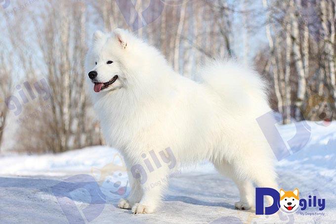 Ảnh: Một chú chó Samoyed thuần chủng với tiêu chuẩn hình thể hoàn hảo.