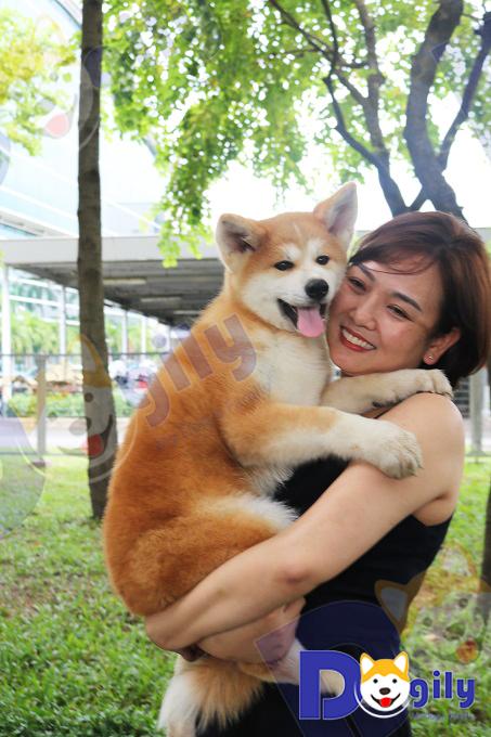 Ảnh chú chó cảnh thuộc giống Akita đang được Ms Vương Trang của Dogily âu yếm như một đứa trẻ.