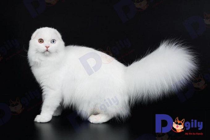 Vệ sinh, chăm sóc thường xuyên, để mèo Scottish luôn giữ được vẻ đẹp như một thiên thần nhỏ của bạn.