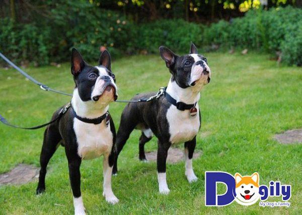 Cách phân biệt Bull Pháp với Boston Terrier