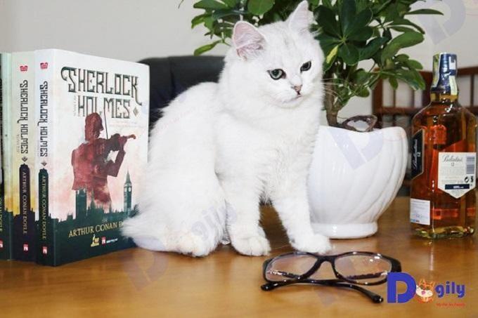 Chú mèo anh lông dài màu silver bạc nhập khẩu Liên Bang Nga tại Dogily Petshop Quận 1, TP.HCM