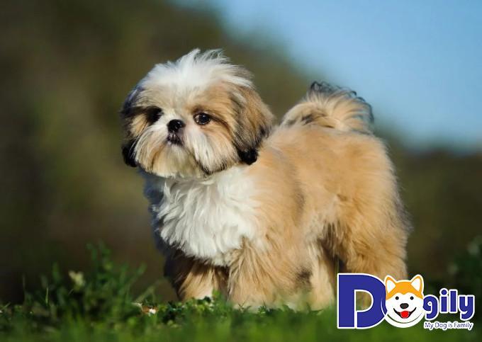Chăm sóc chó Shih Tzu như thế nào là hiệu quả