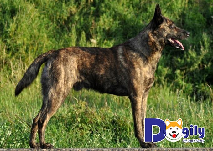 Chó Becgie Hà Lan sở hữu thân hình thon gọn, nhanh nhẹn với cơ bắp săn chắc