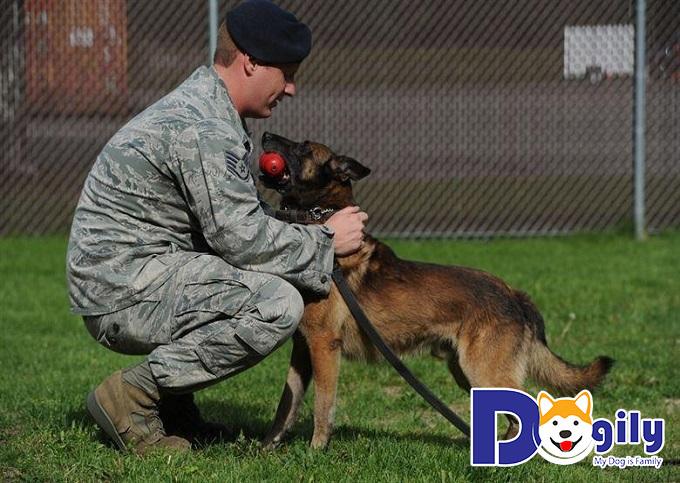 Chó Becgie trưởng thành cần được khen thưởng mỗi khi hoàn thành các bài huấn luyện