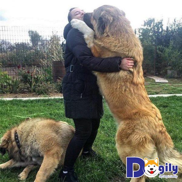 Chó Caucasus vốn sở hữu thân hình khổng lồ, cơ thể dẻo dai và bản tính hung hăng