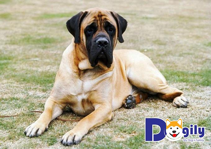 Chó Molosser từng được huấn luyện tham gia vào quân đội và bảo vệ cung điện ở Anh