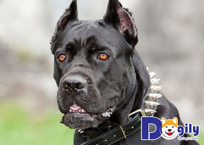 Chó Ngao Ý có khuôn mặt hung dữ
