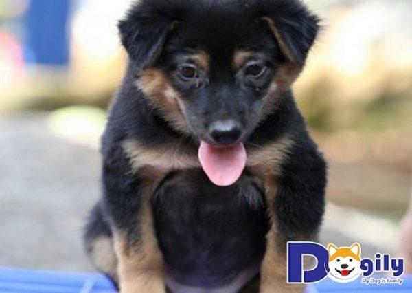 Chó Rottweiler lai Becgie