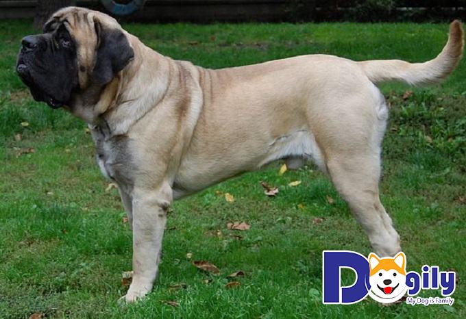 Chó ngao Anh là giống chó có kích cỡ to nhất Thế Giới với cân nặng cực khủng