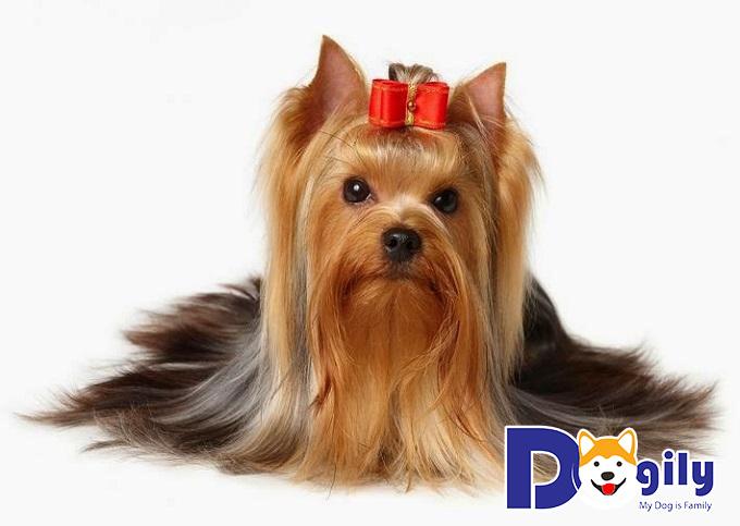 Chó sục Yorkshire Terrier vẫn có nhưng số lượng khan hiếm và chưa phổ biến tại Việt Nam