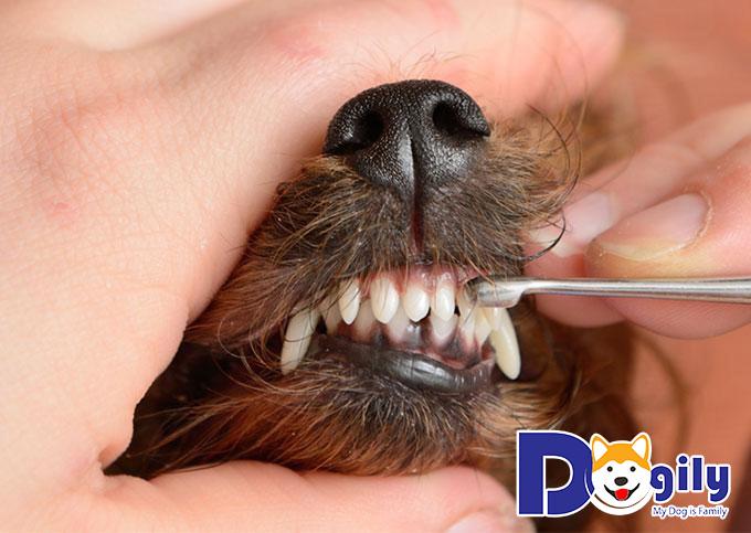 Nuôi chó Yorkshire Terrier cần chú ý tới quá trình chăm sóc và chải chuốt bộ lông