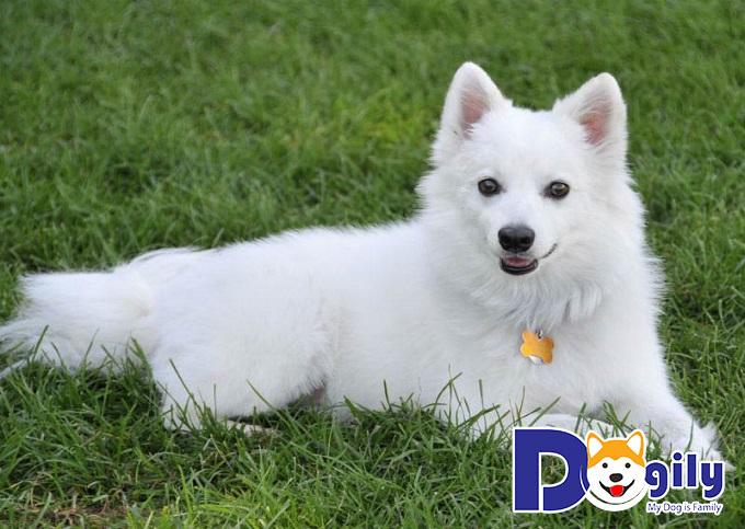 Đặc điểm ngoại hình của giống chó đáng yêu Eskimo