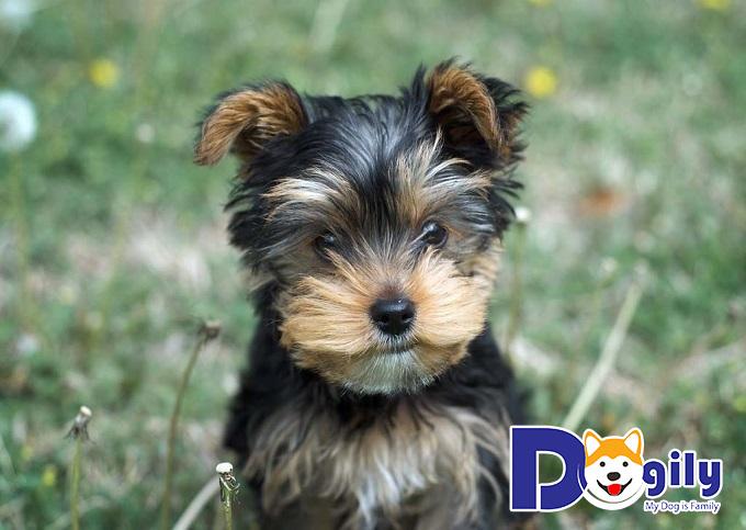 Giá những bé Yorkshire Terrier là bao nhiêu?