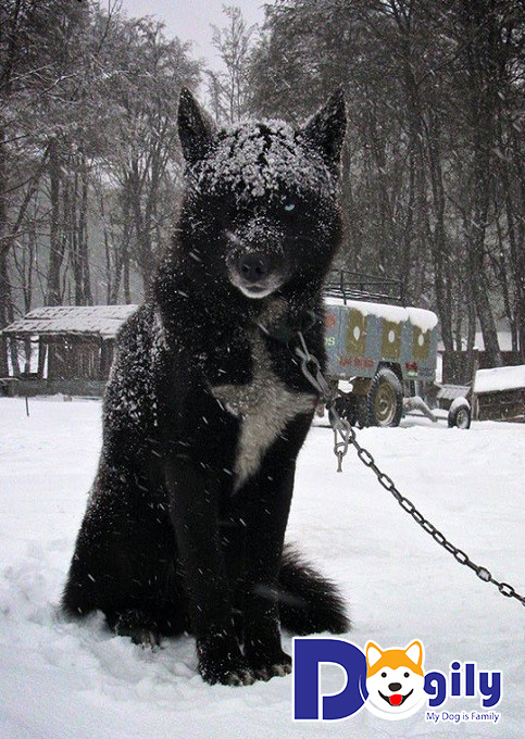 Giải mã bí ẩn về loài chó lai sói - đơn độc và hung dữ