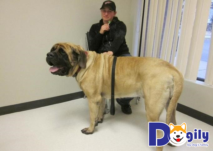"""Giống chó sở hữu thân hình """"siêu to siêu khổng lồ"""" không dòng chó nào bì kịp"""