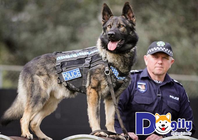 Huấn luyện chó Becgie trưởng thành trong độ tuổi từ 6 tháng trở lên