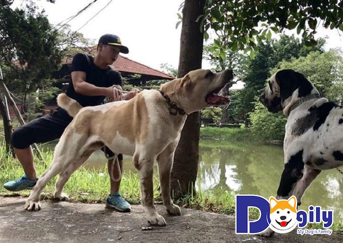 Mua chó ngao nhập khẩu hay chó ở Việt Nam cũng nên chọn nơi uy tín, đáng tin cậy