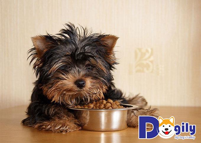 Nên cho chó sục Yorkshire ăn thức ăn dạng khô hay ướt?