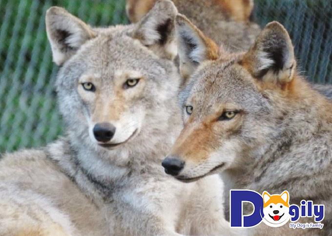 Nên mua chó lai sói ở đâu là uy tín nhất