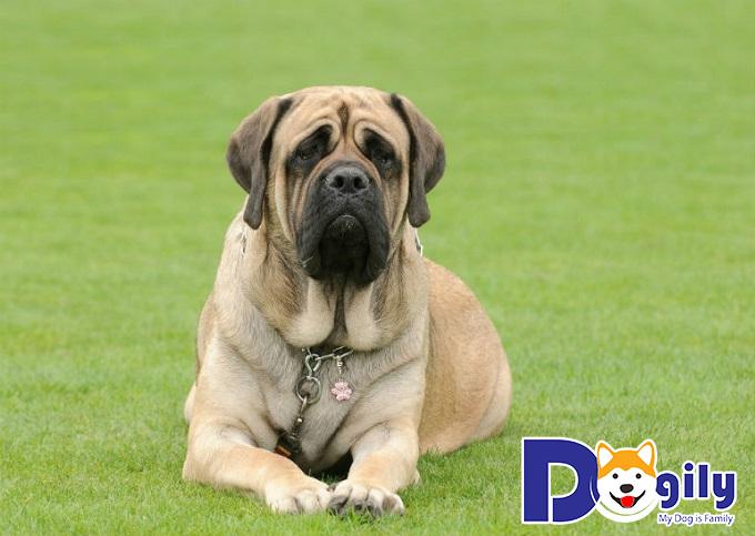 Ngao Anh là chú chó cận vệ, trung thành, tận tụy và nghiêm túc trong việc canh gác