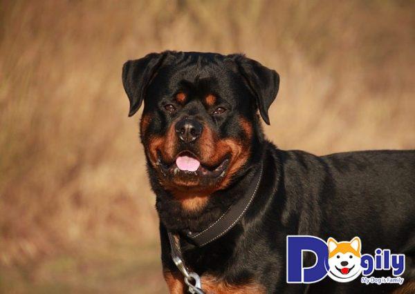 Nguồn gốc, xuất xứ của chó Rottweiler không phải ai cũng biết