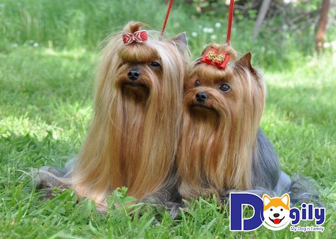 Khám phá những đặc điểm nổi bật của giống chó Yorkshire Terrier