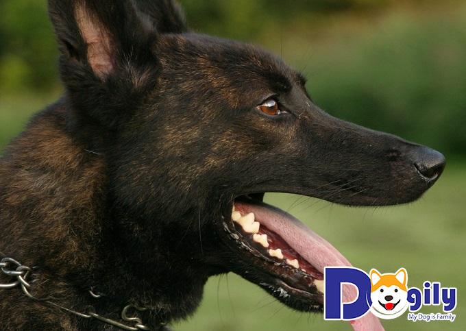 Những đặc điểm nổi bật của giống chó Becgie xuất xứ tại Hà Lan