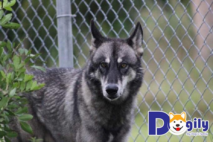 Những lưu ý khi nuôi chó lai sói